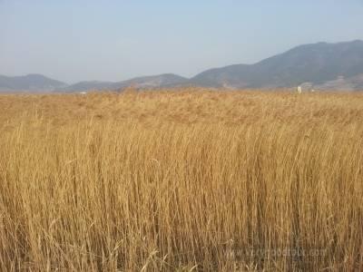 순천만 갈대밭