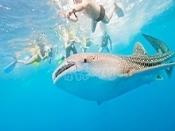내셔널지오그래픽에서 볼 수 있던 고래상어를 눈으로 직접 확인해보세요.
